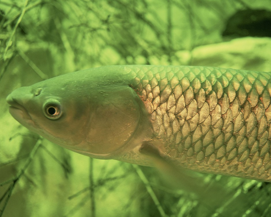 Great lakes states to track asian carp and prepare for for Grass carp fish