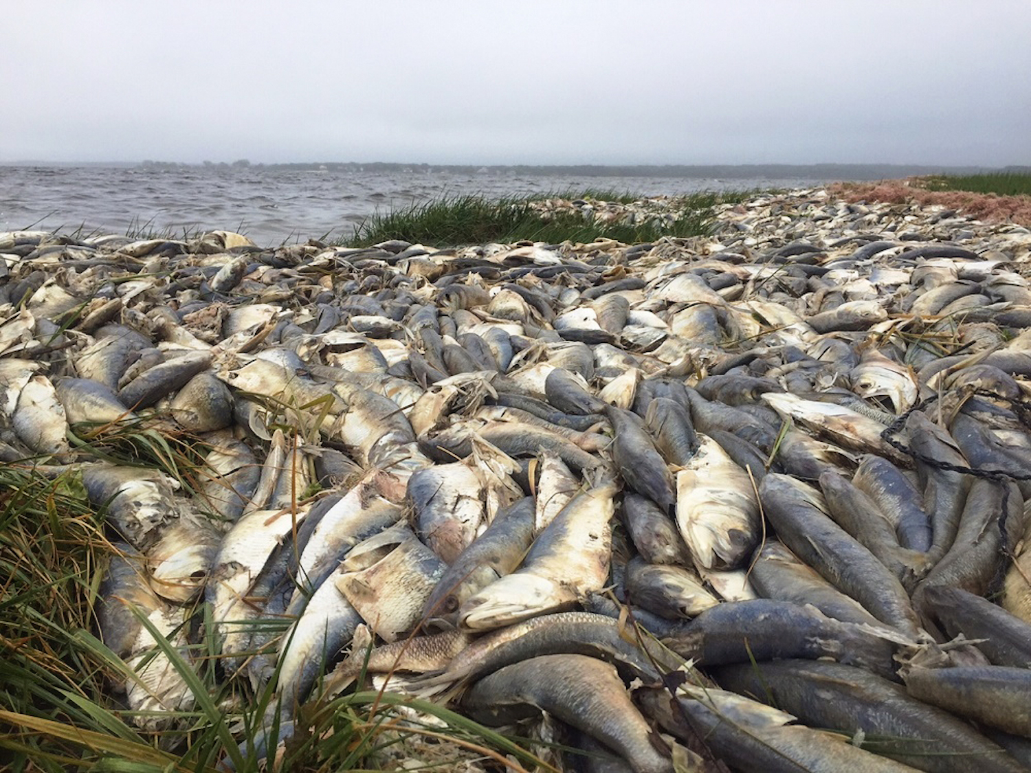 Ecosystems are dying as long island contends with a for Freshwater fishing long island
