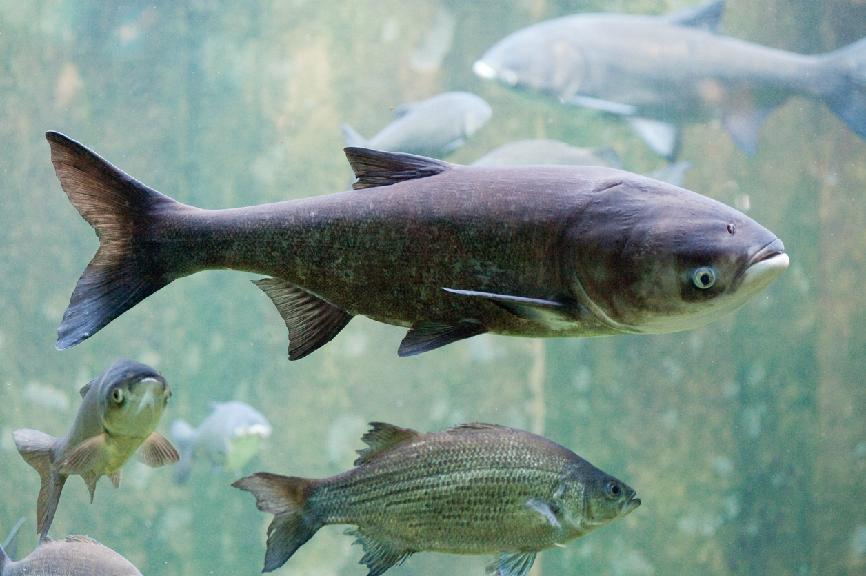 asian carp destroying the great lakes essay