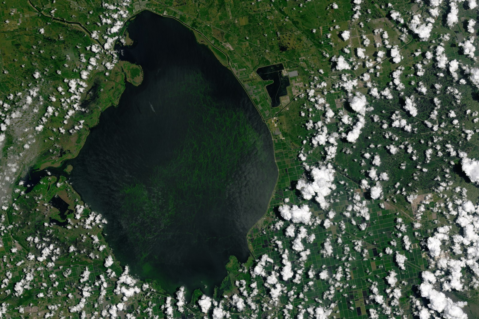The Landsat 8 satellite captured this image of a blue-green algae bloom in Florida's Lake Okeechobee on July 2.  Blooms of the algae are causing ecological and economic damage downstream in the St. Lucie estuary.  Photo courtesy Joshua Stevens / NASA Earth Observatory
