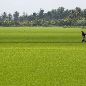 Rice fields in the Mekong Delta, near Can Tho, Vietnam. An increase in groundwater irrigation in the region could affect groundwater availability across national borders. Photo © J. Carl Ganter / Circle of Blue